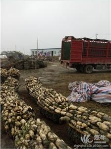 供应信阳藕种种苗出售3537信阳莲藕种植基地