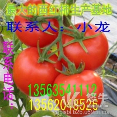 山东西红柿