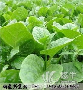 药用复合包装材料 产品汇 供应板蓝根种子叶用板蓝根药材种子药用根和叶