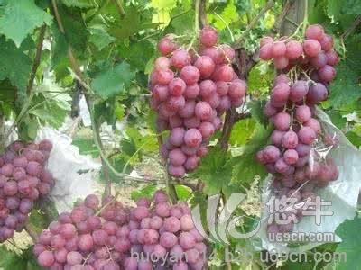 临朐葡萄熟了