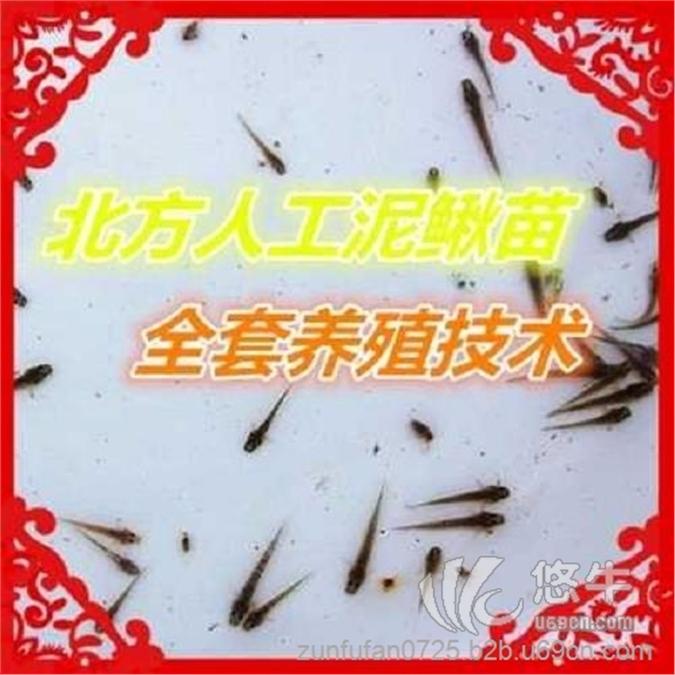 免费台湾泥鳅苗/台湾