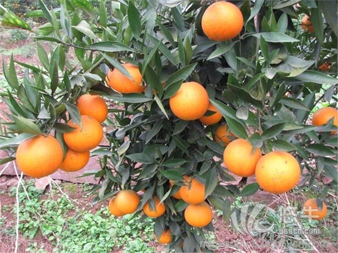 长叶香橙苗